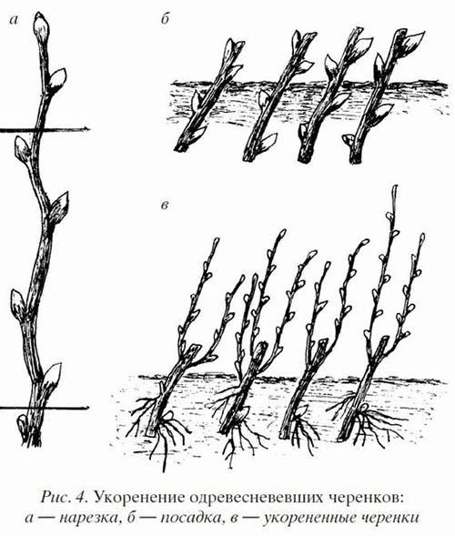 Рисунок размножения черенками