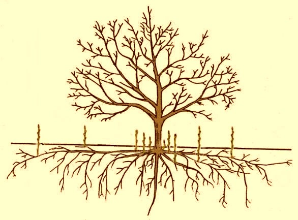 Рисунок размножения дерева прикорневыми побегами
