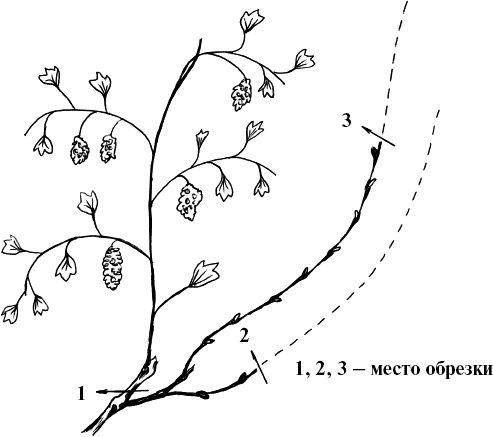 Рисунок обрезки винограда