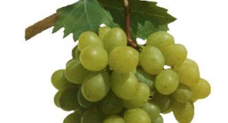 Виноград сорта Гарант