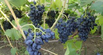 Виноград сорта Презент