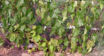 Виноград сорта Кобер