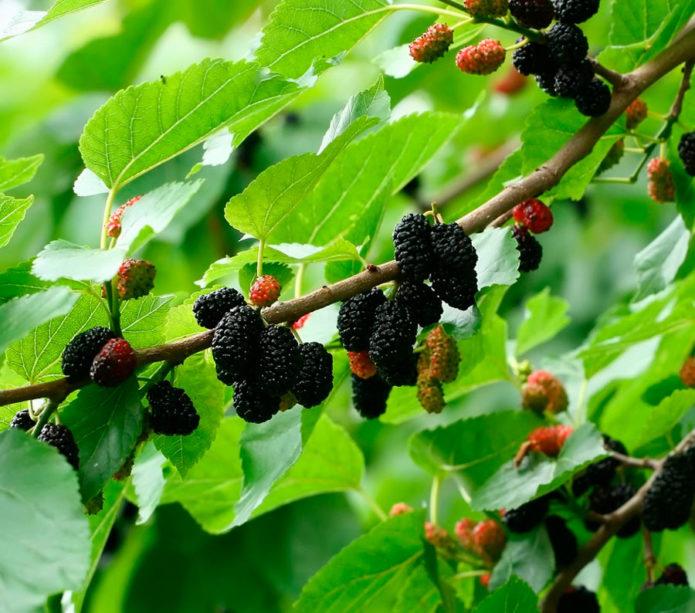 Прививка винограда (весной, летом и в другое время) как это сделать, сроки, как привить на старый