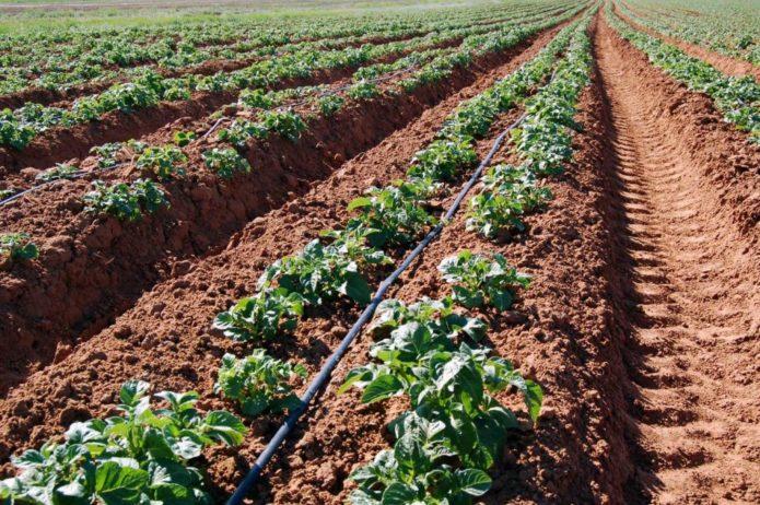 Система орошения в картофельном поле