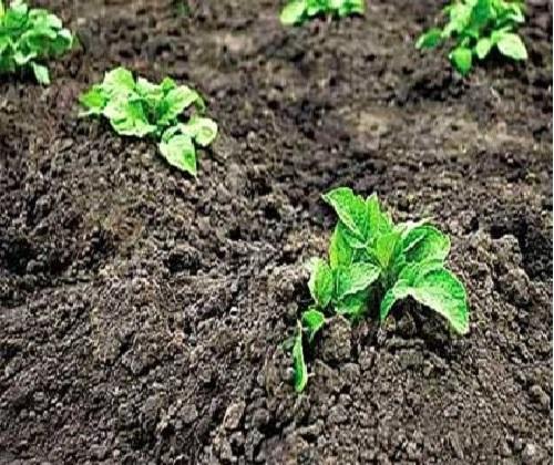 Молодые всходы картофеля