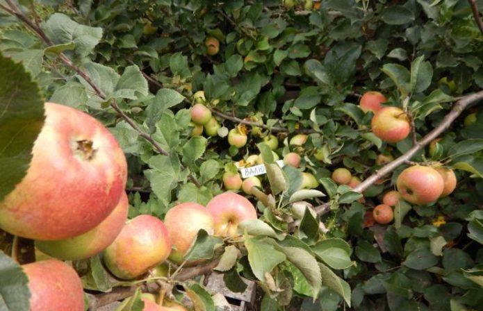 Сорт яблок Валюта