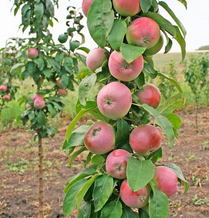Сорт яблони Триумф