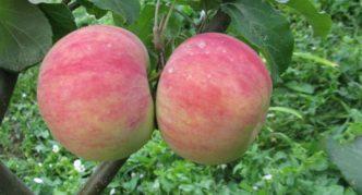 Яблоки сорта Десертное Исаева