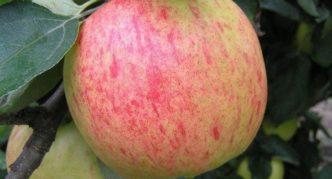 Яблоко сорта Яблочный спас