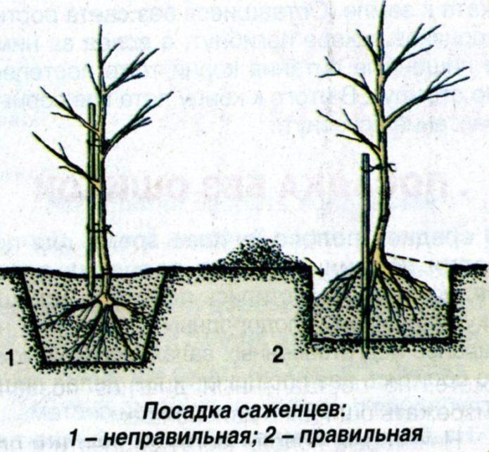 Рисунок посадки саженца
