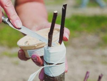 Прививка дерева, которую оборачивают лентой