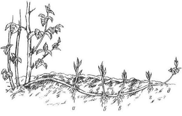 Отводок в почве