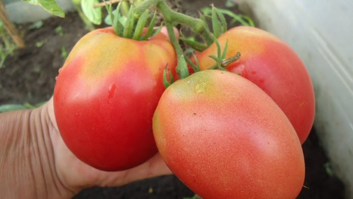 Сорт томатов Алтаечка