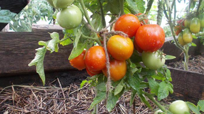 Сорт томата Амурский штамб