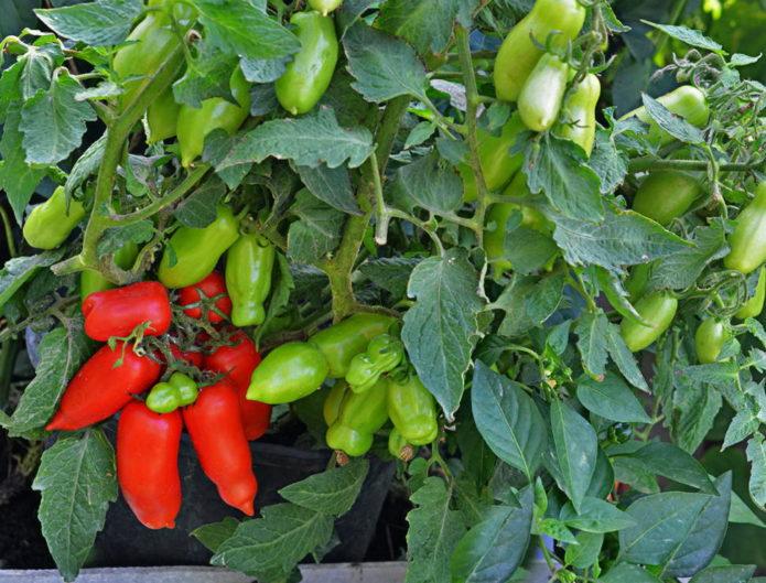 Сорт томата Весёлый гном