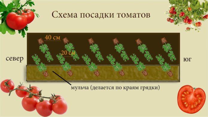 Схема посадки штамбовых томатов