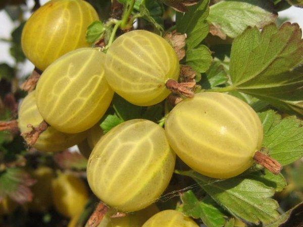 Янтарь в ягодах