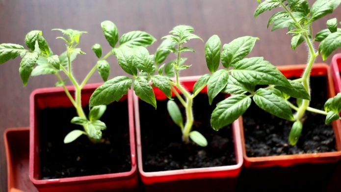 Сеянцы штамбовых сортов томатов