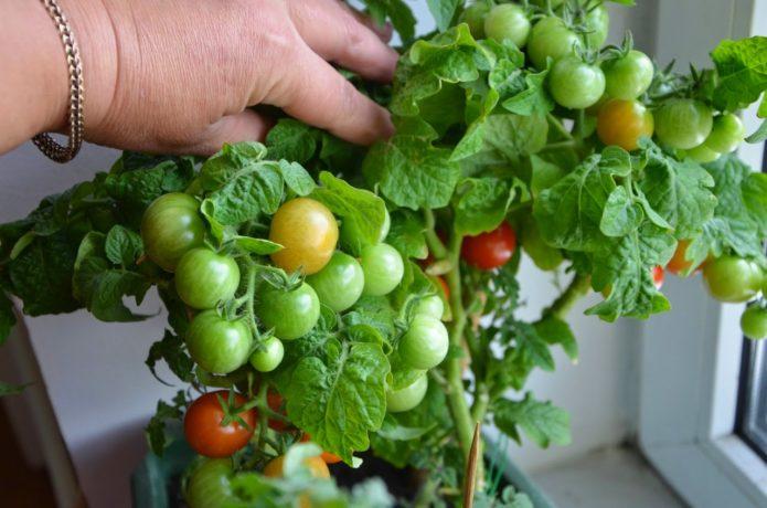 Сорт томата Снегирёк