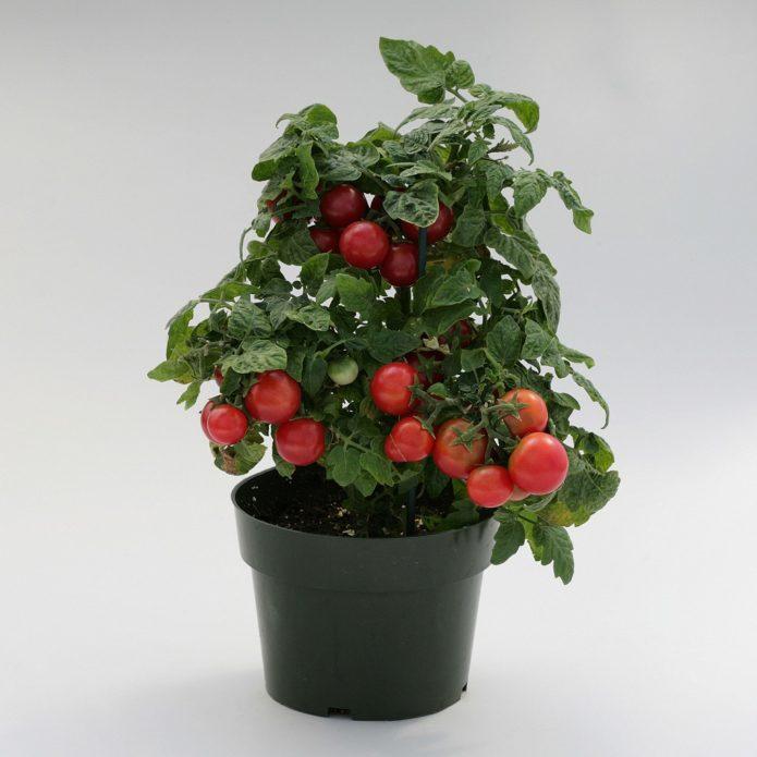 Штамбовый томат в горшке