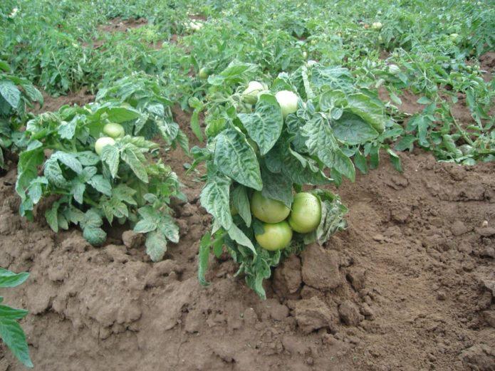 Окученные штамбовые томаты