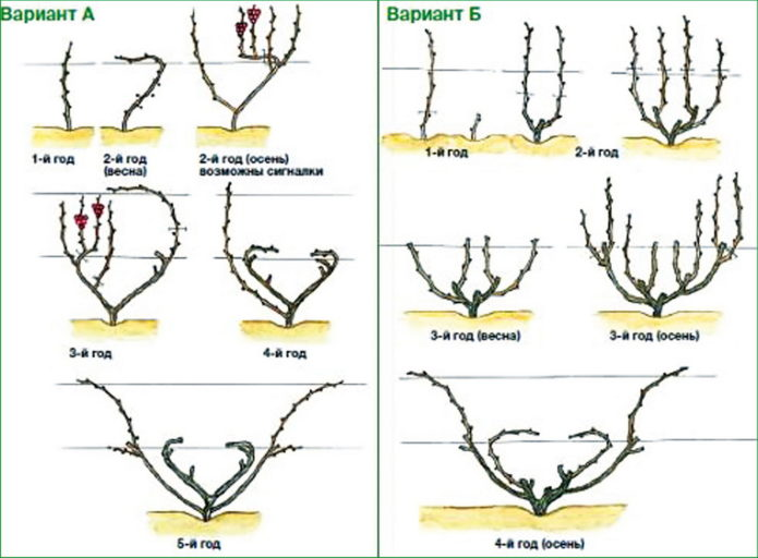 Веерная схема обрезки винограда