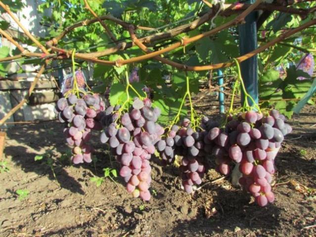 Урожай винограда Фурор
