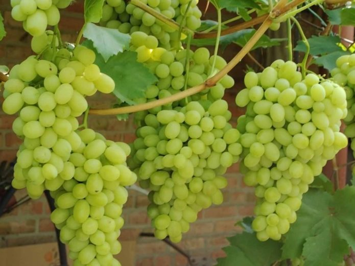 Виноград сорта Лора