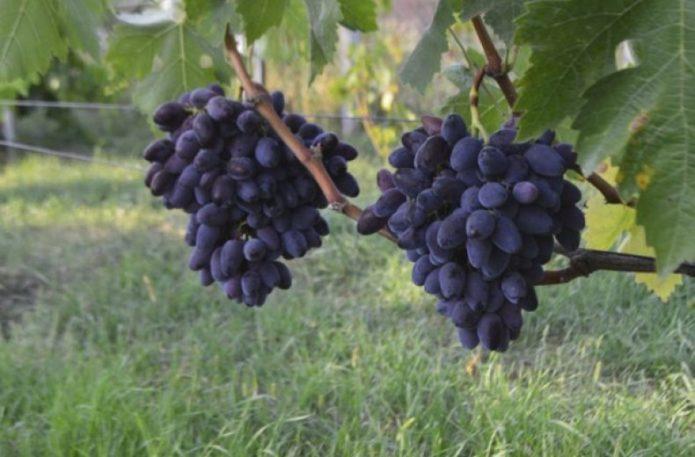 Кисти винограда Фурор