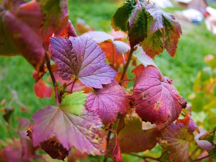 Осенняя смородина