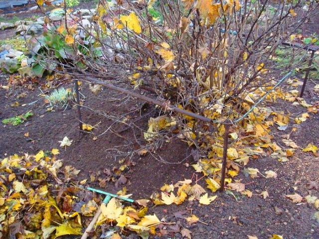 Куст смородины осенью