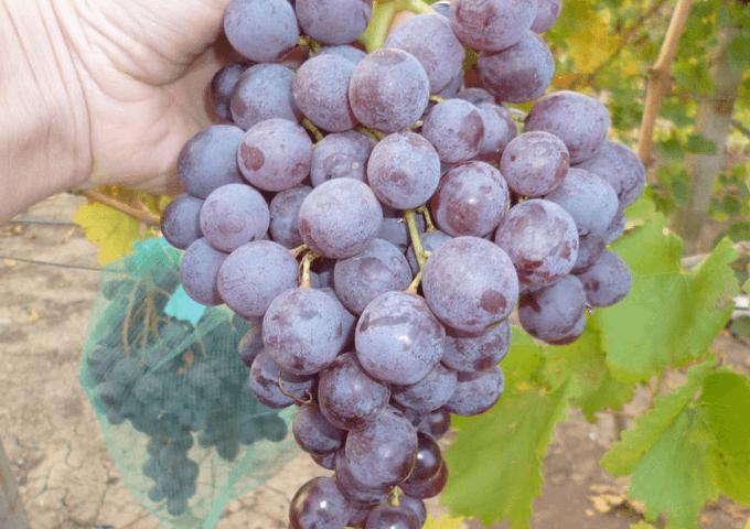 Сорт винограда Кишмиш Реджина
