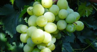 Сорт винограда Аргус