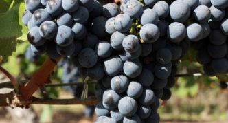 Сорт винограда Каберне-Совиньон