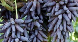 Сорт винограда Ведьмины пальцы