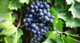 Сорт винограда Ранний Магарача