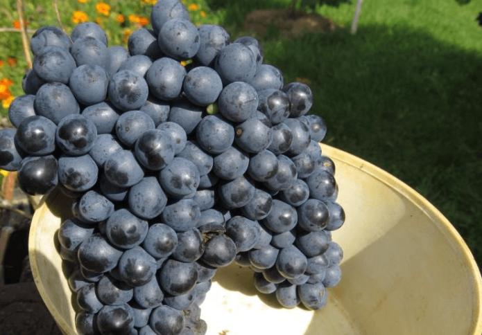 Виноград сорта Красень