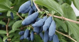 Сорт Голубое веретено