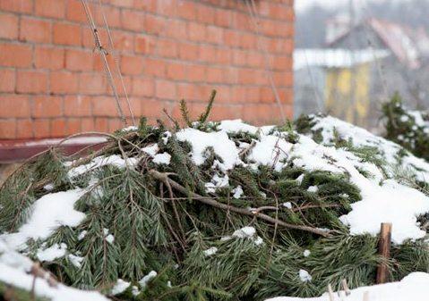 укрытие растения хвойными ветками на зиму