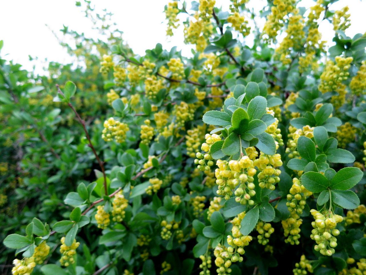 Обрезка барбариса: как сформировать и омолодить растение