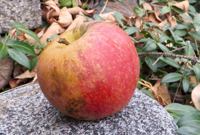 Яблоко сорта Kidd's Orange Red