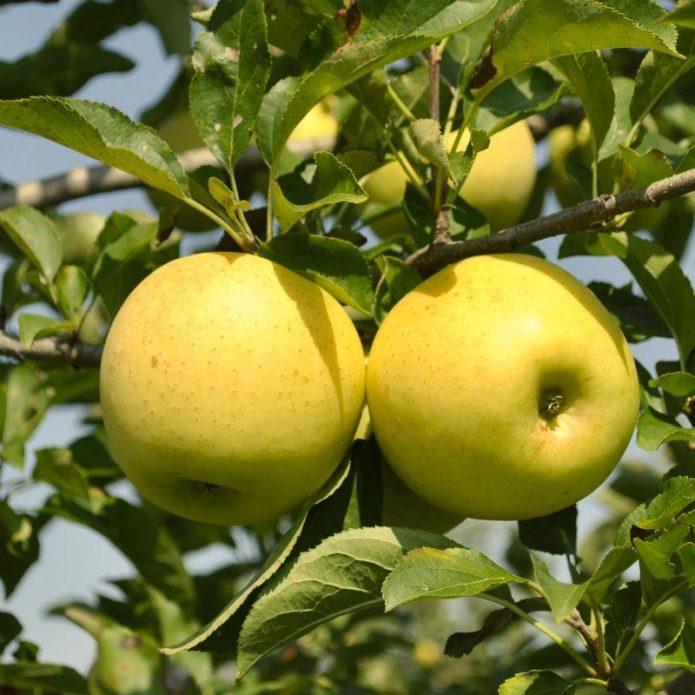 Яблоки Golden Delicious