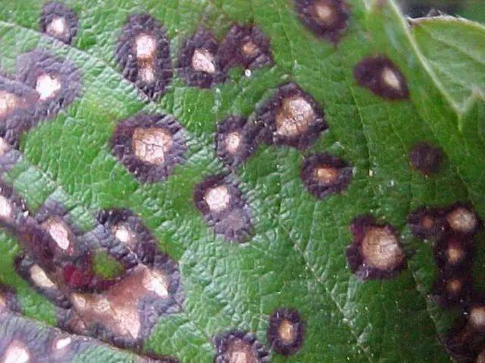 Лист смородины, поражённый септориозом