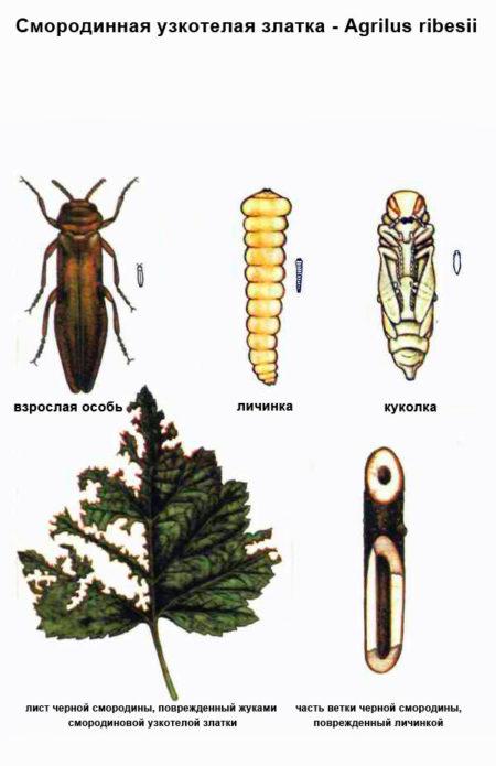 Ботанический рисунок смородинной златки