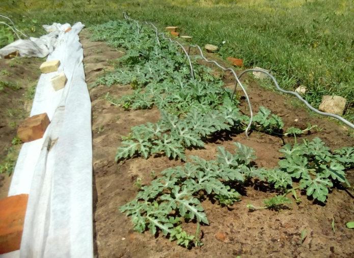 Арбузные растения на грядке