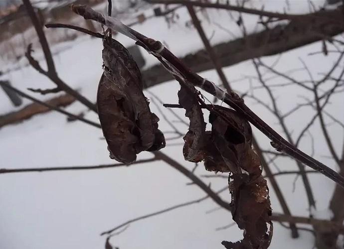 Сухие листья на дереве зимой