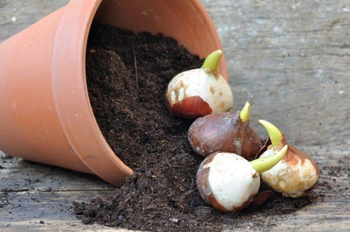 Луковицы и горшок с почвой