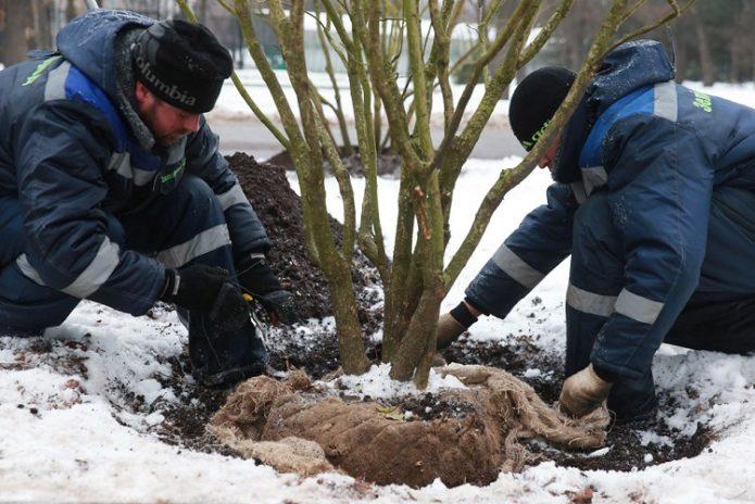 Посадка дерева в яму зимой