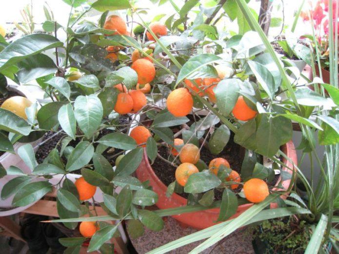 Павловский апельсин