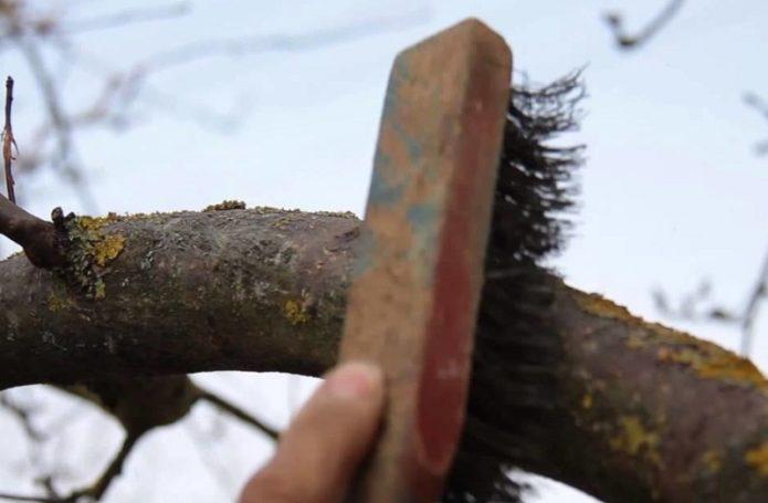 Зачистка ствола дерева от лишайников